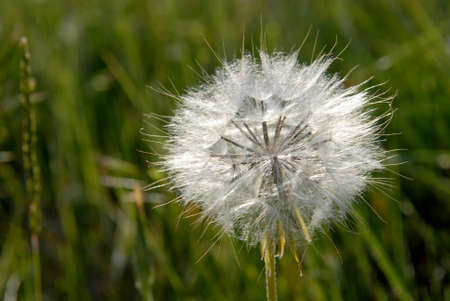 cease: Cease blossoming of dandelion. Close-up against green nature background. Stock Photo
