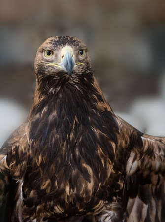 large bird: Tawny Eagle (Aquila rapax) is a large bird of prey. The eagle looks at with a stern intensity.