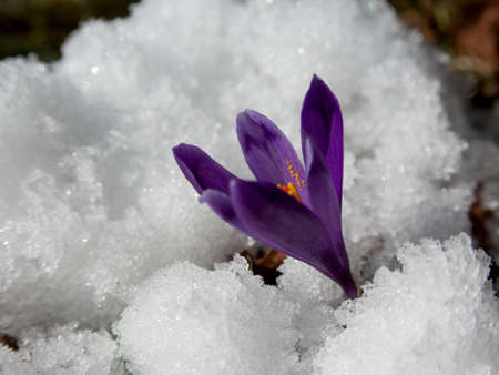 struggled: Violet crocuses have struggled through the snow. People associate  these bright flowers with spring.