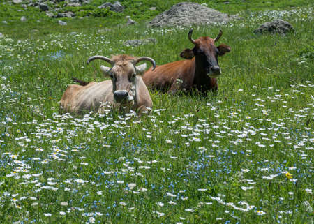 ruminate: Two different cows are resting and ruminating on blossom meadow. There are many white daisies and  forget-me-nots on meadow. Stock Photo