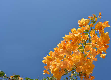 free space: Orange  bouganvillea against blue sky background. Image contains free space.
