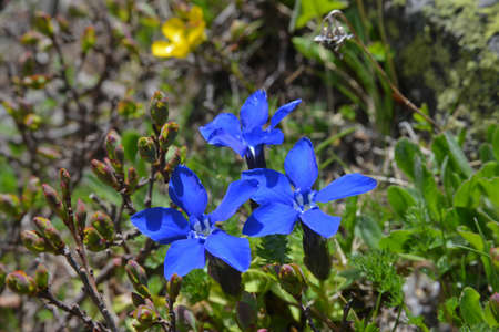 gentian flower: Gentiana verna on alpine meadow. Close-up. Stock Photo
