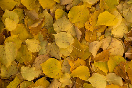 lime tree: Many old yellow leaves on the ground. These are  lime tree leaves.