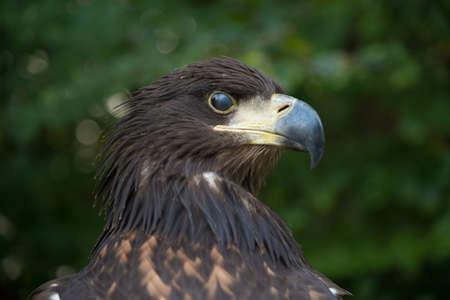녹색 배경에 forbidding 조류의 초상화입니다. 새 - 황갈색 독수리 (독수리 rapax). 독수리의 눈은 부분적으로 맹검으로 덮여 있습니다.