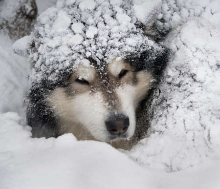 malamute: Dog - Malamute in snow bank. Dogs head is snow powdered.