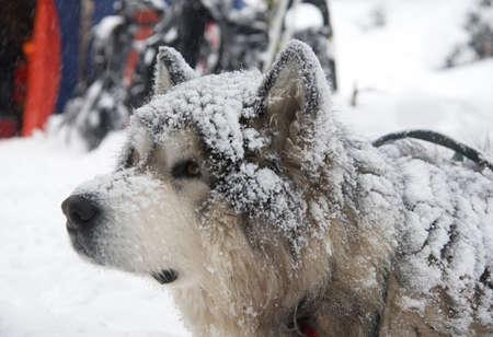 malamute: Large dog - Malamute under snow fall. Stock Photo