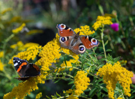io: Peacock and red admiral butterflies is flickering on yellow flowers. Stock Photo
