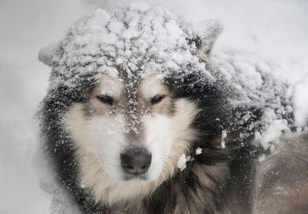 Dog - Malamute under snow fall. Portrait. Stock Photo