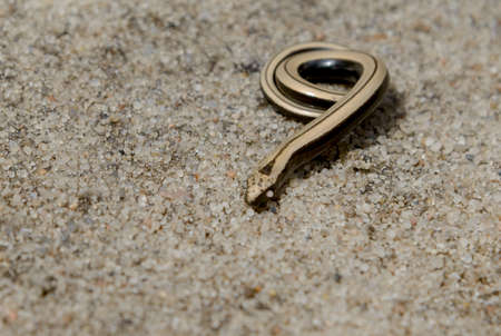 anguis: Little defenselessly snake likes to gold bijouterie on sand background.