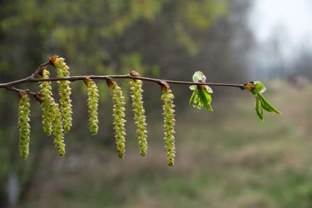Aglets and little leaves on branch (hazel wood). Close-up.