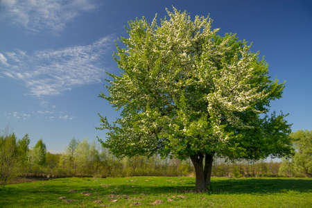 Blossom pear tree on green meadow. Blue sky with clouds in background.