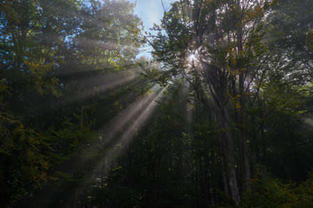 Sunbeams penetrate green forest. Autumn beginning so some leaves are yellow.