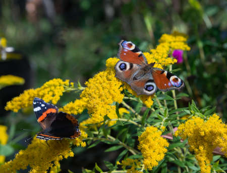 Peacock and red admiral butterflies are flickering on yellow flower. Stock Photo