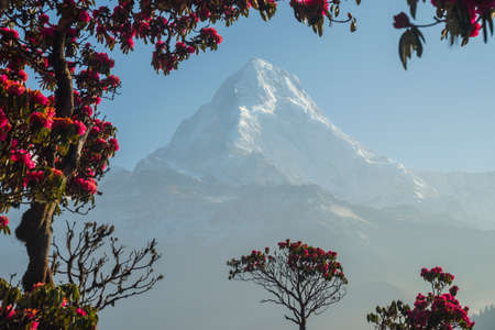 Dhaulagiri mountain in the frame of red rhododendrons (Nepal) in the frame of red rhododendrons. Poon Hill. Morning scene.