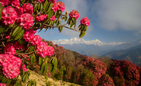 Himalaya Mountains range with red rhododendron flowers in foreground. Poon Hill. Morning scene.