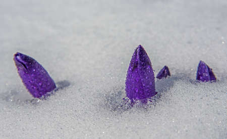Crocus buds covered with water drops