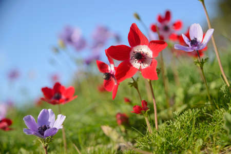 Red and violet anemones blossom in nature. Zdjęcie Seryjne