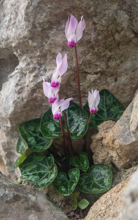 Cyclamen with water droplets growing on a rock.