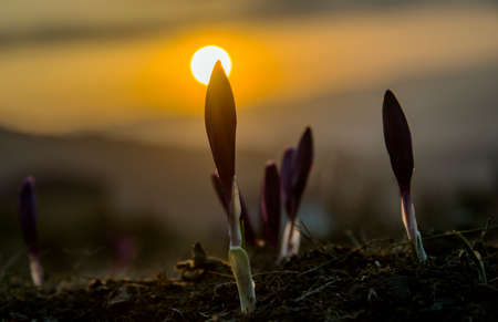Crocus buds against background of the rising (setting) sun.