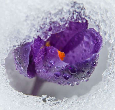 Crocus covered with water drops breaks through the snow.