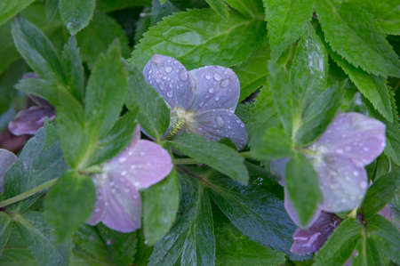 Flowers of hellebore, strewn with water droplets.