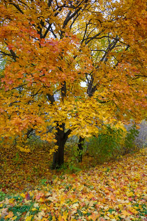 Beautiful yellow-and-red maples. Colored carpet of fallen leaves in the foreground.