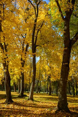 Sunlit golden maple woods. Autumn scene in the park. Фото со стока