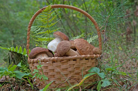 Wicker basket with porcini mushrooms in forest. Stockfoto