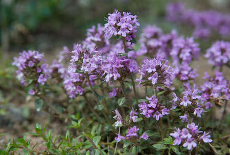 Thyme is culinary and medicinal herbs of the genus Thymus, most commonly Thymus vulgaris.