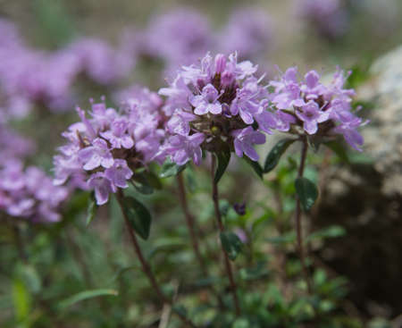 Thyme blossom. Thyme is any of several species of culinary and medicinal herbs of the genus Thymus, most commonly Thymus vulgaris. Imagens