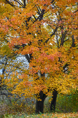 Beautiful yellow-and-red maples full frame.