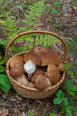 Wicker basket with Ceps (Boletus edulis) in forest. Stockfoto