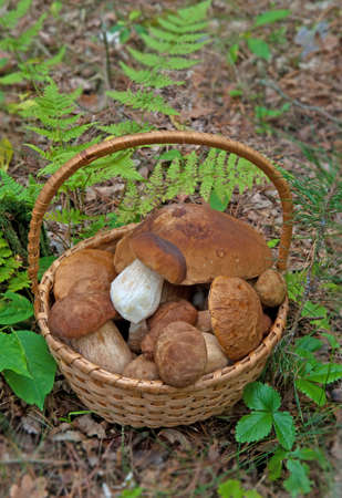 Basket of selected mushrooms in forest. There are porcini mushrooms (Boletus edulis) or ceps.