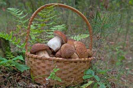 Basket of super delicious mushrooms - Ceps or porcini among the forest. Фото со стока