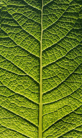 Green leaf close up. The relief of the inside of the sheet, formed by veins, is clearly visible.