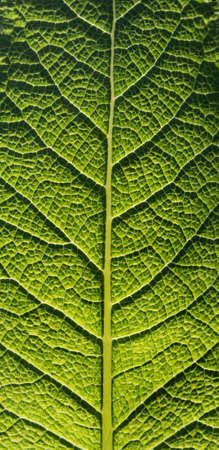 Green leaf macro. The relief of the inside of the sheet, formed by veins, is clearly visible.