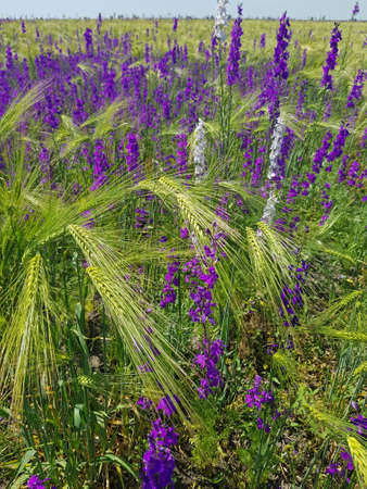 Field with green spikelets and purple flowers. Blooming wild delphinium. Stock Photo