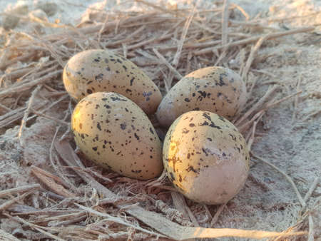 Clutch of seagull eggs just on the ground.