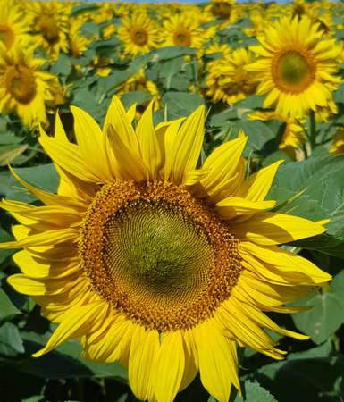 Yellow sunflower field. The picture can be an illustration about summer and about agriculture.Life-affirming summer story. Stock Illustration - 162122856