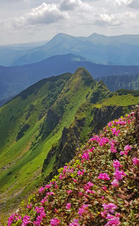Chervona ruta flowers (Rhododendron kotschyi or Rhododendron myrtifolium) in foreground. Green mountains in background. Maramures region in Carpathian mountains.