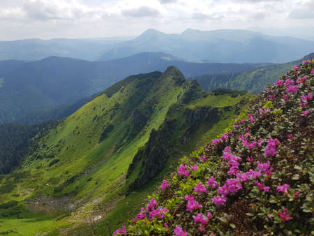 Summer (spring) in mountains. In foreground are blooming red (pink) rhododendrons, also called chervona ruta.