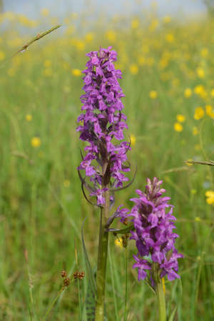 Wild orchid (orchis) blooms in meadow. Another names: Orchis mascula, early-purple orchid, early spring orchis.
