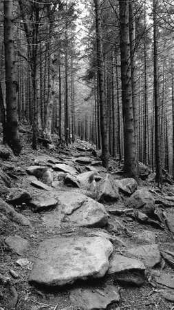 Forest trail in mountains. This is spruce forest. Black and white image. Marker is visible on one of trees.