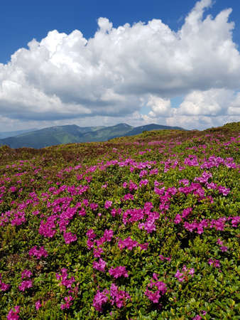 Carpet of flowers in the Carpathian Mountains. Chervona ruta flowers (Rhododendron kotschyi or Rhododendron myrtifolium) in foreground. Blue sky and big white cloud in background.