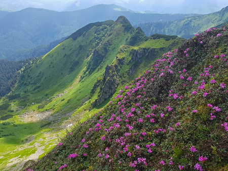 Pink rhododendron blossom in green summer mountains. These flowers has another names: Chervona ruta, Rhododendron kotschyi or Rhododendron myrtifolium. Maramures ringe.