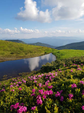 Summer (spring) in mountains. In foreground are blooming red (pink) rhododendrons, also called chervona ruta. Blue sky and clouds are reflected in small lake.