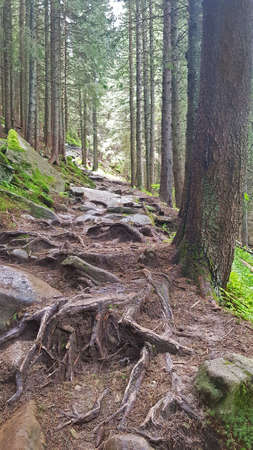 Forest trail in mountains. This is spruce forest. Stock Photo