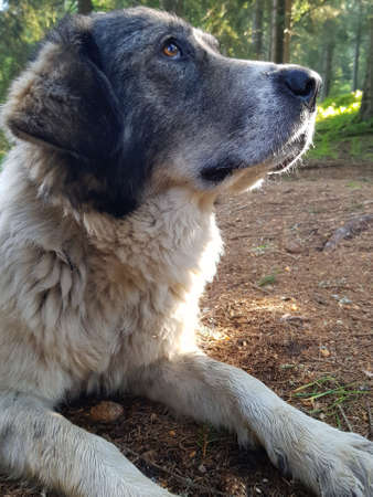 Large shepherd dog in the forest. Forest lit by morning sun in the background.