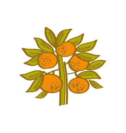 tangerine: orange hand drawn element. tangerine citrus vector illustration