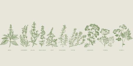 Zestaw szkiców ziołowych do gotowania francuskiego. Bazylia, lawenda, szałwia, majeranek, mięta, rozmaryn, tymianek, oregano, koper włoski, trybula ręcznie rysowane element projektu. Ilustracje wektorowe